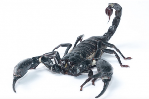 Scorpions: Hazards of Writing in Italy